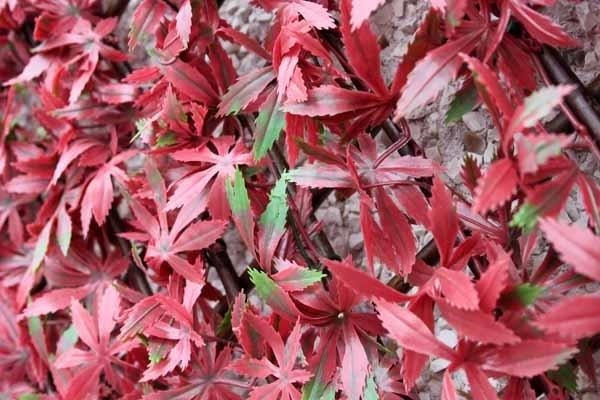 WonderWal Trellis Red Acer