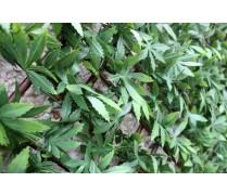 WonderWal Trellis Green Acer